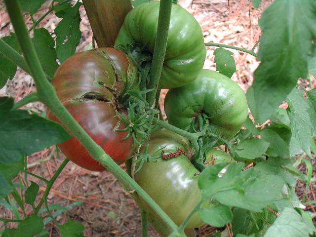The heirloom Cherokee Purple tomato is very productive